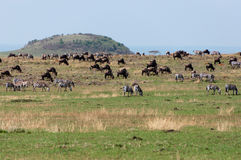 Masai Mara Herds Stock Photos