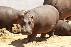 Masai Mara hipopotam zdjęcia royalty free