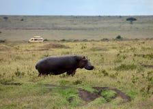 masai mara hippopotamus Стоковое Изображение RF