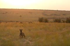Masai mara hyena Royalty Free Stock Image