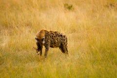Masai mara hyena Stock Images