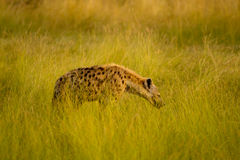 Masai mara hyena Royalty Free Stock Images