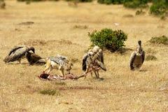 Masai Mara Jackals e avvoltoi Fotografie Stock