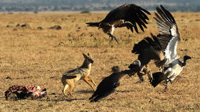 Masai Mara Jackals and Vultures Royalty Free Stock Photos