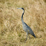Masai Mara Kenia de la garza Imágenes de archivo libres de regalías