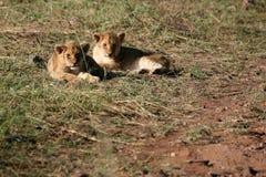 Masai Mara Kenia de los leones Imagen de archivo libre de regalías