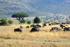Masai Mara, Kenja, Afryka Obrazy Royalty Free