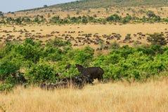 Masai Mara, Kenja, Afryka Fotografia Stock