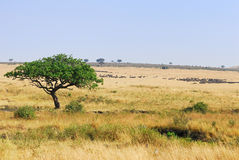 Masai Mara, Kenya Royalty Free Stock Images