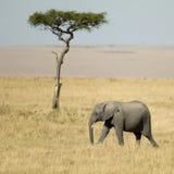 Masai mara Kenya do elefante africano foto de stock