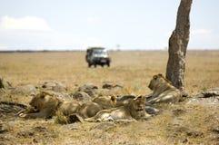 Masai mara Kenya do leão Foto de Stock