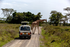 Masai Mara, Kenya - 04 January: Giraffe walking along the road i Royalty Free Stock Images