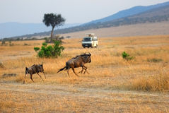 Masai Mara, Kenya Stock Photography