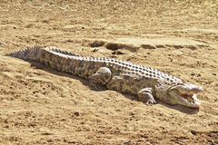 Masai Mara krokodyl Obrazy Royalty Free