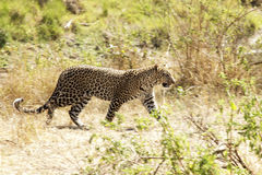 Masai Mara lampart Zdjęcie Stock