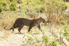 Masai Mara Leopard Stock Foto