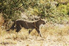 Masai Mara Leopard Lizenzfreie Stockfotografie