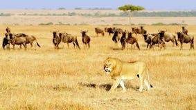 MASAI MARA lew zdjęcia stock