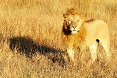 MASAI MARA lew Zdjęcie Royalty Free