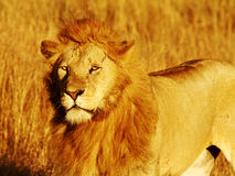 Masai Mara Lion Royalty Free Stock Photos