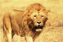 Masai Mara Lion. A lion (Panthera leo) on the Masai Mara National Reserve safari in southwestern Kenya Royalty Free Stock Photos