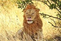 MASAI MARA LION Fotografia Stock