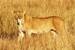 MASAI MARA LION Stockbilder