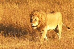 MASAI MARA LION Arkivbilder