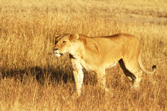 MASAI MARA LION Royaltyfri Foto