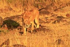 MASAI MARA LION Arkivbild