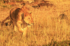 MASAI MARA LION Royalty-vrije Stock Afbeeldingen