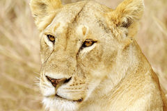 MASAI MARA LION Royalty-vrije Stock Foto's