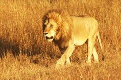 MASAI MARA LION Stockbild
