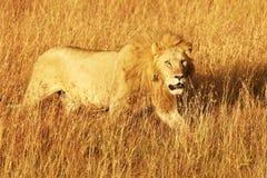 MASAI MARA LION imagens de stock