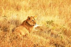 MASAI MARA LION Imagem de Stock Royalty Free