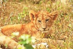 MASAI MARA LION Imagens de Stock Royalty Free