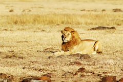 MASAI MARA LION Fotografie Stock