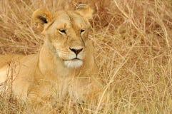 Masai Mara Lion Stock Image
