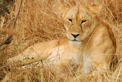Masai Mara Lion Royalty Free Stock Images