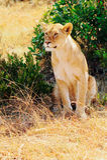 Masai Mara Lion Royalty Free Stock Images