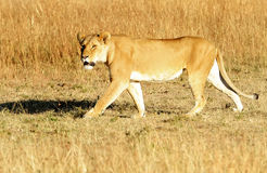Masai Mara Lion Stock Photos