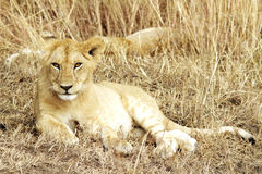 Masai Mara Lion Cub Stockfotos