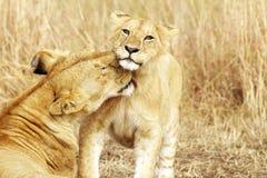 Masai Mara Lion Cub Immagini Stock Libere da Diritti