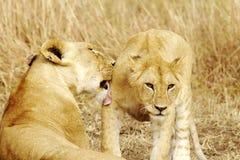 Masai Mara Lion Royalty Free Stock Image
