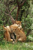 Masai Mara Lion Cubs Royalty Free Stock Photography