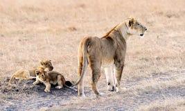 Masai Mara Lion Stock Photography