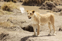 Masai Mara Lion Stock Photo