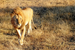 Masai Mara Lion Stock Images