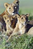 Masai Mara stock images