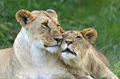 Masai Mara royalty free stock photos